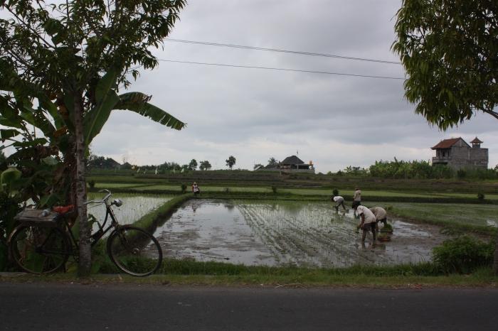 Rice field on the way to Ubud.